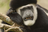 Black and White Colobus Monkey (Colobus guereza) in a tree, Masai Mara National Reserve, Kenya.