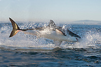 Great White Shark (Carcharodon carcharias) adult breaching, False Bay, South Africa.
