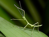 Nymph Walking Stick (Phasmatodea phasmida) on a blade of grass.
