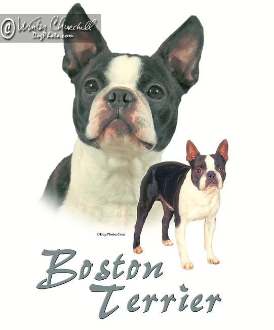 Boston Terrier This design is offered on gift merchandise ONLY.<br />