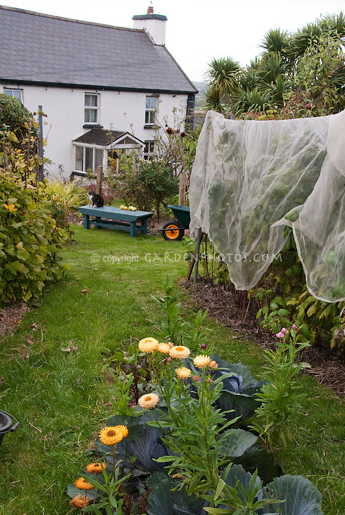 Protecting plants raspberries fruit from birds and animals with netting arbor, house, cat, wheelbarrow, cabbages, helichrysum strawflowers, lawn grass, garden bench