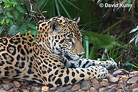 0615-1104  Jaguar, Belize, Panthera onca  © David Kuhn/Dwight Kuhn Photography