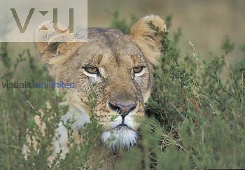 Female African Lion hiding in vegetation while hunting prey ,Panthera leo,, East Africa.