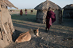 ATEKAL, TANZANIA - NOVEMBER 16: A Maasai man stands next to his dying cattle on November 16, 2009 in their village in Atekal, Tanzania. The village has lost about 300 cattle. This area has been severely affected by drought the last two years and as many as 3-4000 cattle has died in recent months. The Maasai tribe populates the area and many of them has given up on farming and traveled to cities such as Arusha to look for work. Indigenous peoples globally, such as the Maasai in Tanzania and Kenya, are disproportionately affected by the impacts of climate change due to fragile and harsh ecosystems. (Photo by Per-Anders Pettersson)....