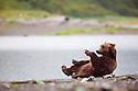 Alaska, Katmai Peninsula; Brown bear (Ursus arctos) rolling on its back on gravel bar to rest