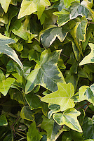 Ivy leaves Hedera helix 'Ceridwen'