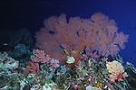 A butterfly fish swims among gorgonian and soft corals, Republic of Palau, Micronesia.