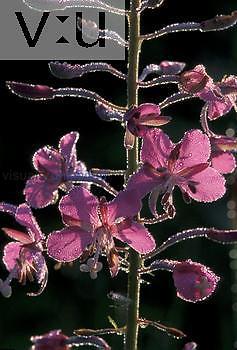 Fireweed ,Epilobium angustifolium, with dew