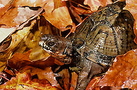 1R40-030x  Eastern Box Turtle - in autumn leaves - Terrapene carolina