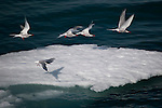 Arctic terns, Sterna Paradisaea, taking off from ice floe near Humboldt Glacier, Greenland. Photographed from the Greenpeace Arctic Sunrise during a 2009 expedition to examine the effects of climate change on the Arctic environment