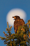 Bald Eagles, Nesting and Development