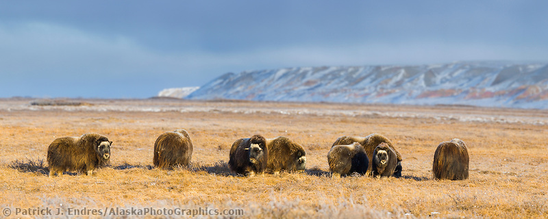 Panorama of Musk Ox herd on Alaska's snowy Arctic Coastal Plain near Franklin Bluffs.