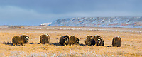 Panorama of Musk Ox herd on Alaska's snowy Arctic Coastal Plain near Franklin Bluffs.