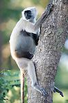 Grey, Common or Hanuman Langur, Semnopitheaus entellus, Pregnant Female sitting in tree, Corbett National Park, Uttarakhand, Northern India.India....