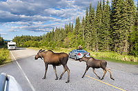 Tourists watch cow and calf moose cross the Chena Hot Springs road, interior, Alaska.