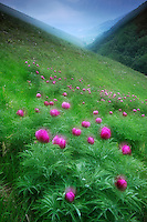 Common Peony (Paeonia officinalis), Valle di Canatra/Sibillini National Park, Italy; WWoE Mission