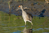 559500007 common gallinule gallinula galeata or common moorhen gallinula chloropus wild texas.Chick in Pond.Anahuac National Wildlife Refuge, Texas