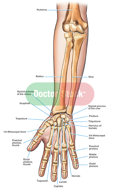 Forearm and hand anatomy