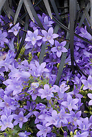 Campanula Catharina and Ophiopogon plansicapus 'Nigrescens' black mondo ornamental grass