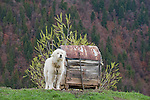 Mioritic shepherd dog in a village near Zarnesti, Transylvania, Romania