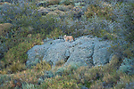 A Puma kitten perches on a rock amongst the brush in Patagonia, Chile.