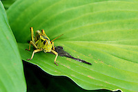 Grasshopper on a leaf.