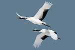 Red Crowned Crane, Grus japonensis, Pair flying against blue sky, wings open, Hokkaido Island, japanese, Asian, cranes, tancho, crested, white, black,  wilderness, wild, untamed, photography, ornithology, in flight, snow.Japan....
