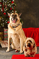 Asalia and Erik are photographed with his owner Sara Kepa, at a Muttmixer holiday party thrown by City Dog magazine in Seattle, WA on December 09, 2010. (photo by Karen Ducey)