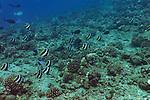 Pennant Butterflyfish, Heniochus diphreutes, Jordan, 1903, Molokai Hawaii