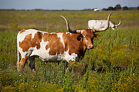 Texas Longhorn Cattle in a Texas Hill Country pasture