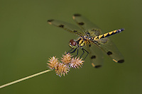 Calico Pennant (Celithemis elisa) Dragonfly - Female, Swift River Reservation, Petersham, Worcester County, Massachusetts