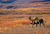 Bull Moose treks across open autumn tundra during mating season, Denali National Park, Alaska
