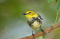 591400017 a wild male  black-throated green warbler setophaga virens - was dendroica virens perches in a small mesquite bush on south padre island texas