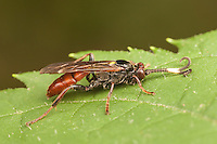 A male Ichneumon Wasp (Cratichneumon sp) perches on a leaf.