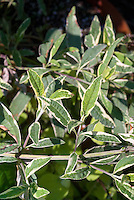 Buddleja davidii Harlequin variegated leaves