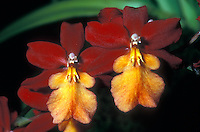 Burrageara Stefan Isler 'Lava Flow' Orchid Hybrid