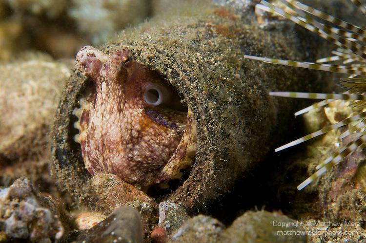Blue ringed octopus size - photo#8