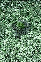 Lamium maculatum Beacon Silver with Helleborus foetidus