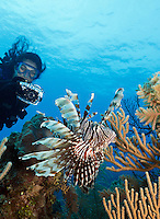 TH2975-D. Common Lionfish (Pterois volitans) flaring fins with venomous spines. This lionfish is widespread throughout tropical Indo-Pacific oceans and now in the Western Atlantic and Caribbean too as a result of introduction. Here a scuba diver (model released) uses an underwater camera to take a picture. Cuba, Caribbean Sea. <br /> Photo Copyright &copy; Brandon Cole. All rights reserved worldwide.  www.brandoncole.com