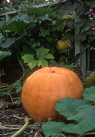 Pumpkin Atlantic Giant growing in pumpkin patch