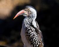Red Billed Hornbill, Kruger NP, SA