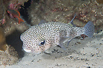Cocos Island, Costa Rica; a Spotted Porcupinefish (Diodon hystrix) swimming over the sandy bottom, near the rocky reef