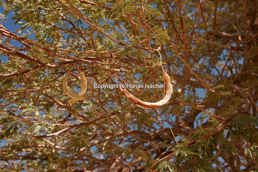 Israel, the Negev desert. Fruit of Acacia pachyceras