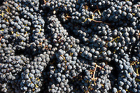 Freshly picked ripe Merlot grapes harvest at famous Chateau Petrus wine estate at Pomerol in Bordeaux region, France