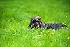 Rauhaardackel im grünen Gras