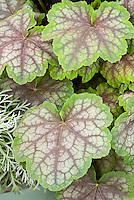 Heuchera Green Spice, scalloped edged leaves, pretty shade garden foliage plant with green picotee edges and rosy silver veins