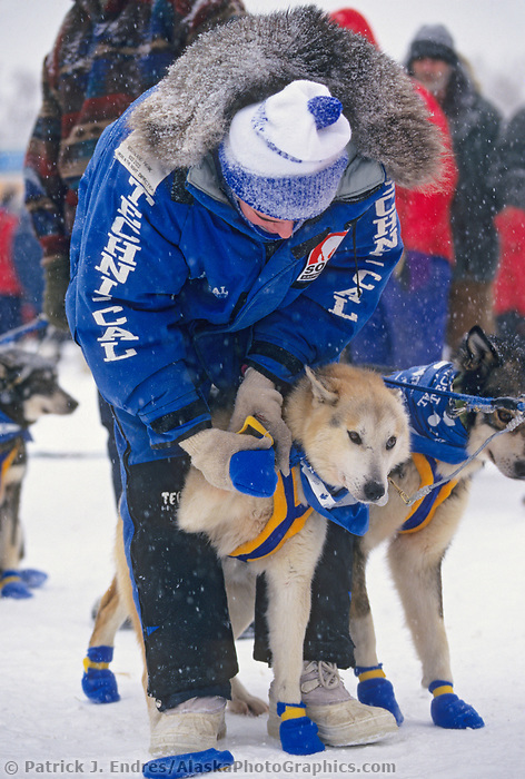 Dog team handler puts on booties before the start of the Yukon Quest, 1000 mile sled dog race to Whitehorse, Canada.