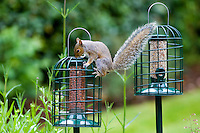 Determined squirrel attempts to get at peanuts in squirrel-proof birdfeeder in town garden, London, England, United Kingdom