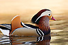 Mandarin Duck (aix galericulata) in Lagoon at Los Angeles County Arboretum, Arcadia, California