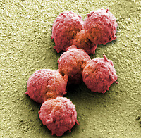 Synthetic Mycoplasma bacteria, SEM. Scientists at the J. Craig Venter Institute developed the first cell controlled by a synthetic genome in May 2010.